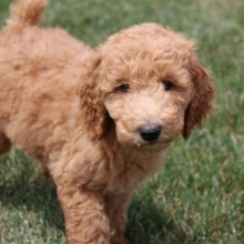 Poodle Puppies for Sale | PuppySpot
