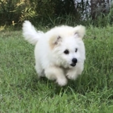 Pomapoo Puppies for Sale | PuppySpot