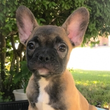CHEAP FRENCH BULLDOG PUPPIES FOR SALE IN NC - Dogs and