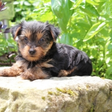 Yorkshire Terrier Puppies for Sale | PuppySpot