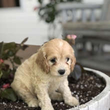 Cockapoo Puppies for Sale | PuppySpot