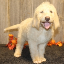 Labradoodle Puppies for Sale   PuppySpot