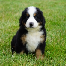 Bernese Mountain Dog Puppies for Sale | PuppySpot