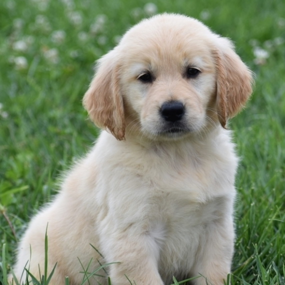 Golden Retriever Puppies For Sale In Pa Under 300 #15252