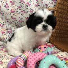 Shih Tzu Puppies For Sale Puppyspot