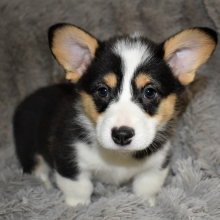 Pembroke Welsh Corgi Puppies For Sale Puppyspot