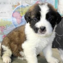Saint Bernard Puppies For Sale Puppyspot