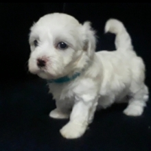 Maltipoo Puppies For Sale Puppyspot