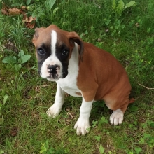 Boxer Puppies For Sale Puppyspot