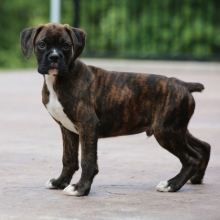Boxer Puppies for Sale | PuppySpot