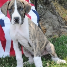 Great Dane Puppies for Sale | PuppySpot