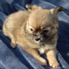 Chihuahua Puppies for Sale | PuppySpot