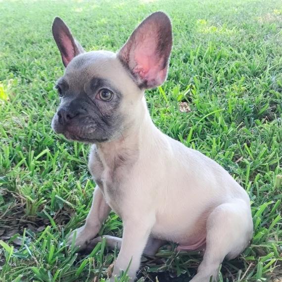 French Bulldog For Sale Mn Craigslist Gastronomia Y Viajes