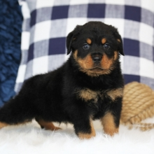 Mini Rottweiler Puppies For Sale In Nj