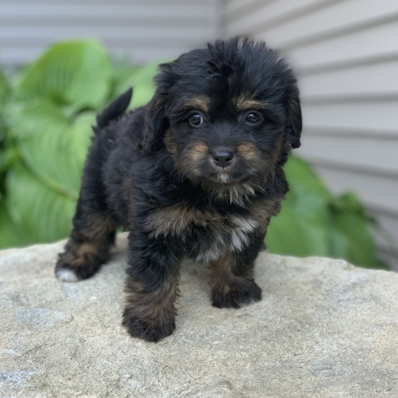 Bernedoodle Puppies for Sale | PuppySpot