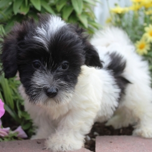 Find the Right Puppy for Your Family | PuppySpot
