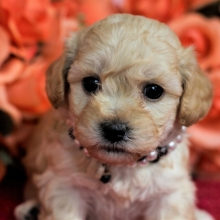 Maltipoo Puppies for Sale | PuppySpot
