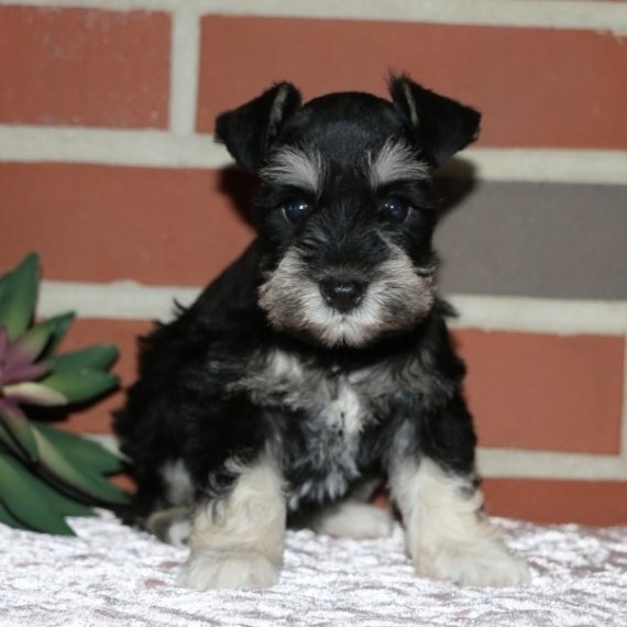 Miniature Schnauzer Puppies For Sale Puppyspot
