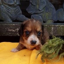 Dachshund Puppies For Sale Puppyspot