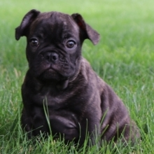 French Bulldog Puppies for Sale | PuppySpot
