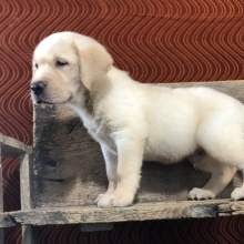 Labrador Retriever Puppies for Sale | PuppySpot