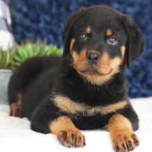 Rottweiler Puppies for Sale | PuppySpot