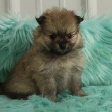 Pomeranian Puppies for Sale   PuppySpot