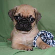 Pug Puppies for Sale | PuppySpot