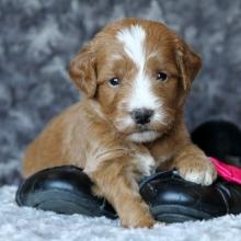 Rose Glen North Dakota ⁓ Try These Mini Goldendoodle Puppies