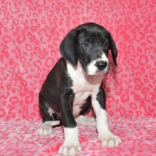 Great Dane Puppies For Sale Puppyspot