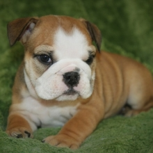 Bulldog Puppies For Sale Puppyspot