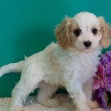 Cavapoo Puppies For Sale Puppyspot