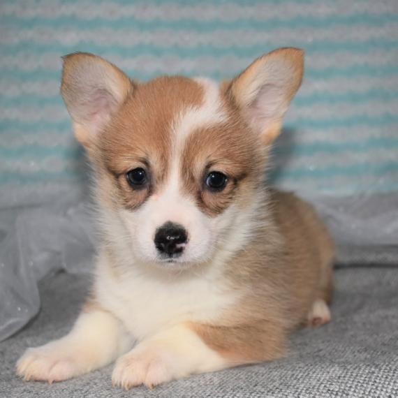 Pembroke Welsh Corgi Puppies For Sale Puppyspot