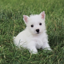 West Highland White Terrier Puppies for Sale | PuppySpot