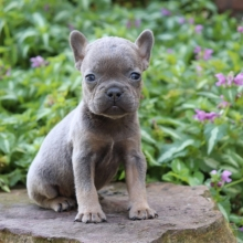 French Bulldog Puppies For Sale Puppyspot