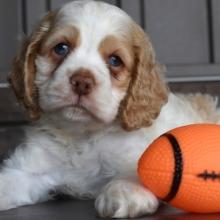 Cocker Spaniel Puppies for Sale | PuppySpot