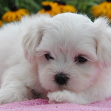 Maltese Puppies for Sale | PuppySpot