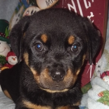 Rottweiler Puppies For Sale Puppyspot