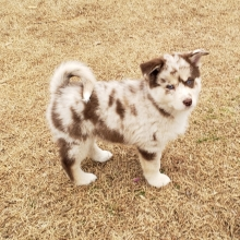Pomsky Puppies For Sale Puppyspot