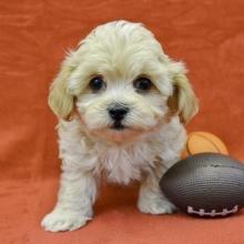 Groovy Maltipoo Puppies for Sale | PuppySpot TJ19