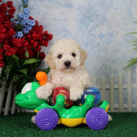 Góra Maltipoo Puppies for Sale | PuppySpot NU62
