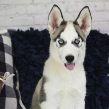 Siberian Husky Puppies for Sale | PuppySpot