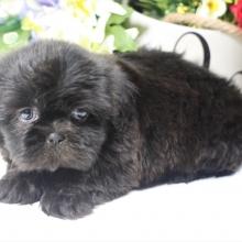 Shih Tzu Puppies for Sale | PuppySpot