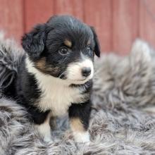 Australian Shepherd Puppies for Sale   PuppySpot
