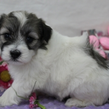 Puppies For Sale Puppyspot