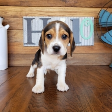 Beagle Puppies For Sale Puppyspot