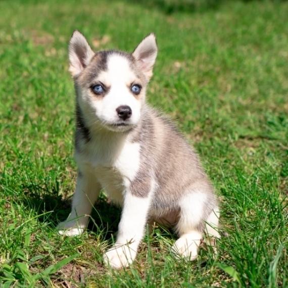 Pomsky Puppy For Sale Near Me - NYC