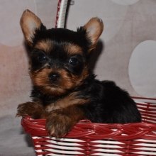 Yorkshire Terrier Puppies For Sale Puppyspot