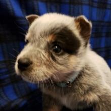 Australian Cattle Dog Puppies For Sale Puppyspot