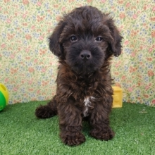 Yorkiepoo Puppies For Sale Puppyspot